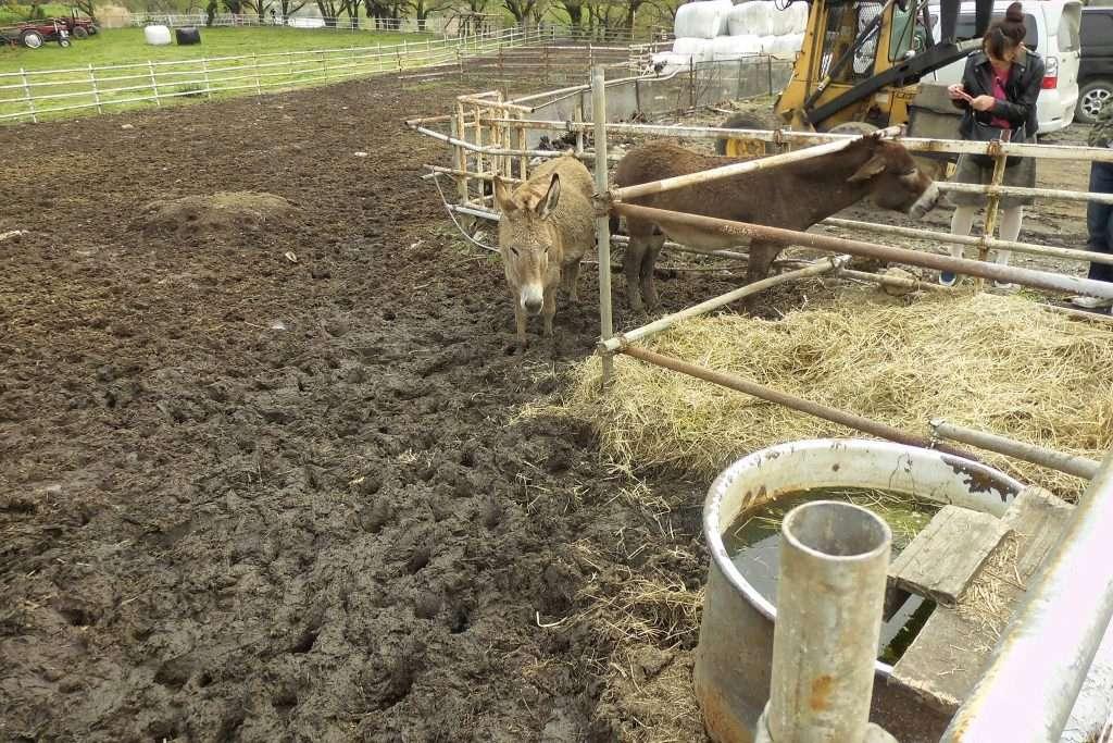 Donkeys at Enomoto Dairy farm