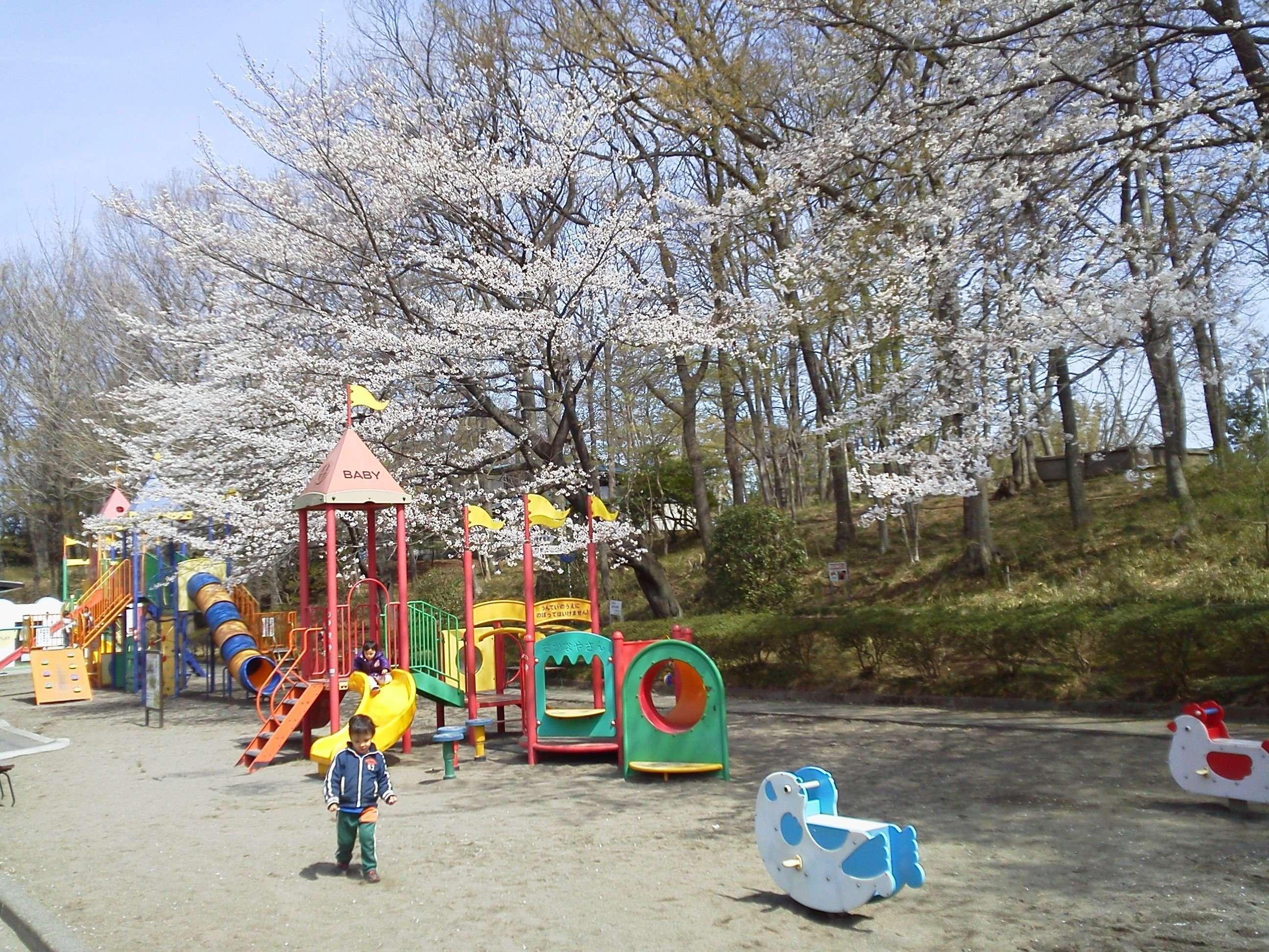 Kitamoto Children's park cherry blossoms