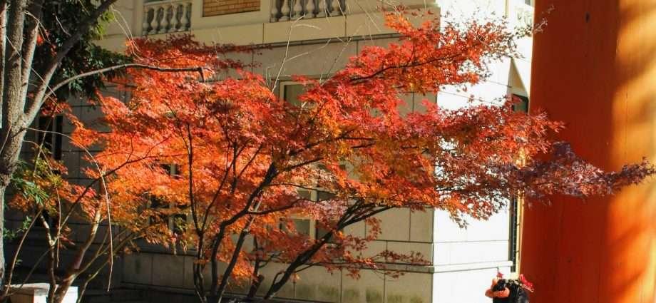 hikawa jinja maple in Saitama