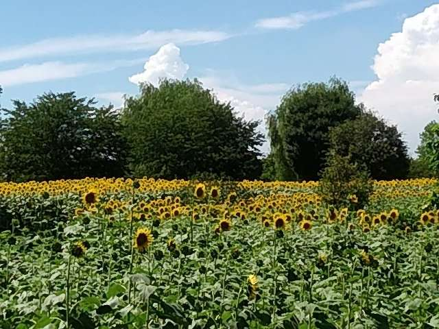 sunflowers kumagaya sports culture park saitama prefecture
