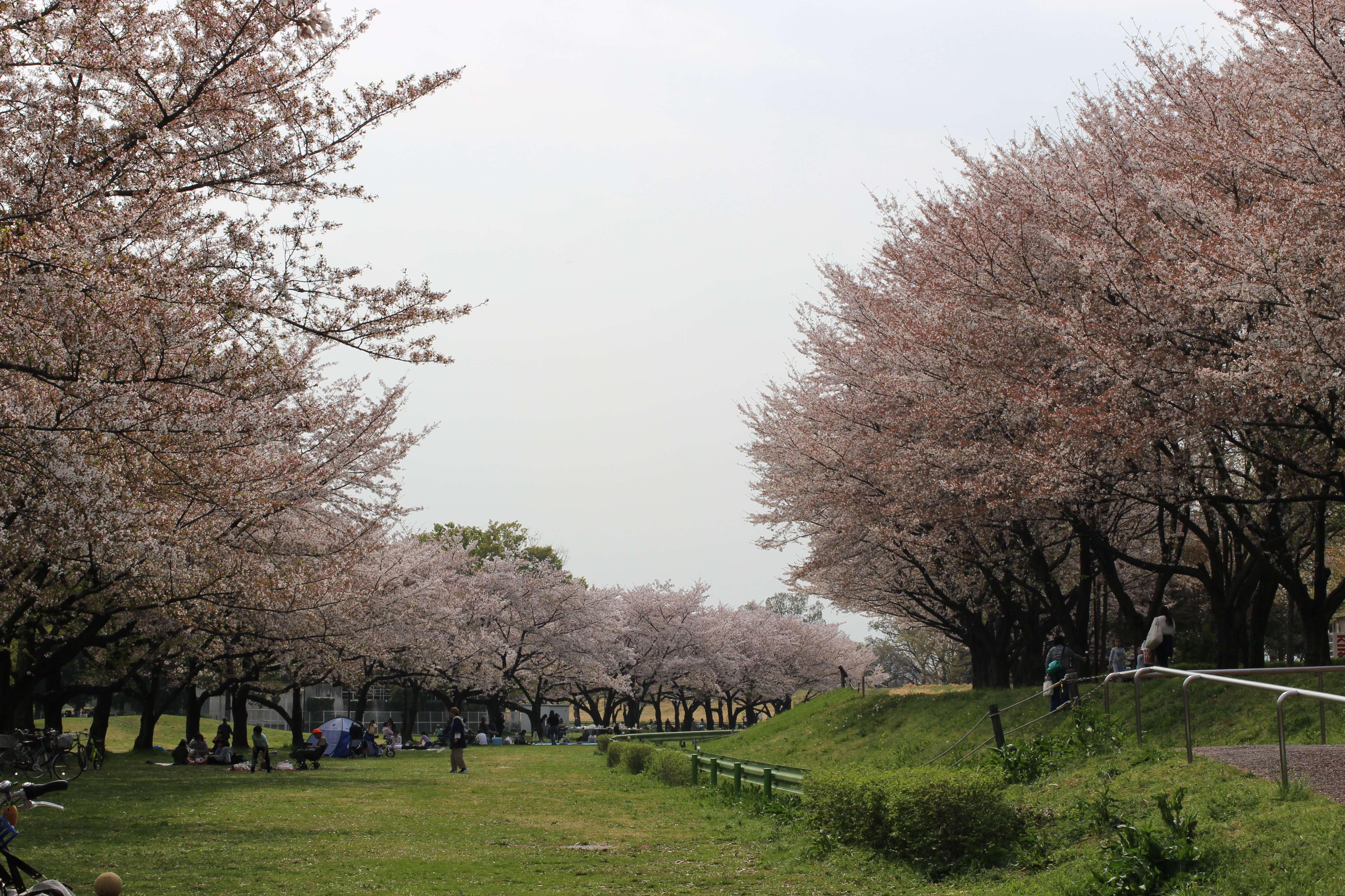 Cherry blossoms at Kawagoe Water park
