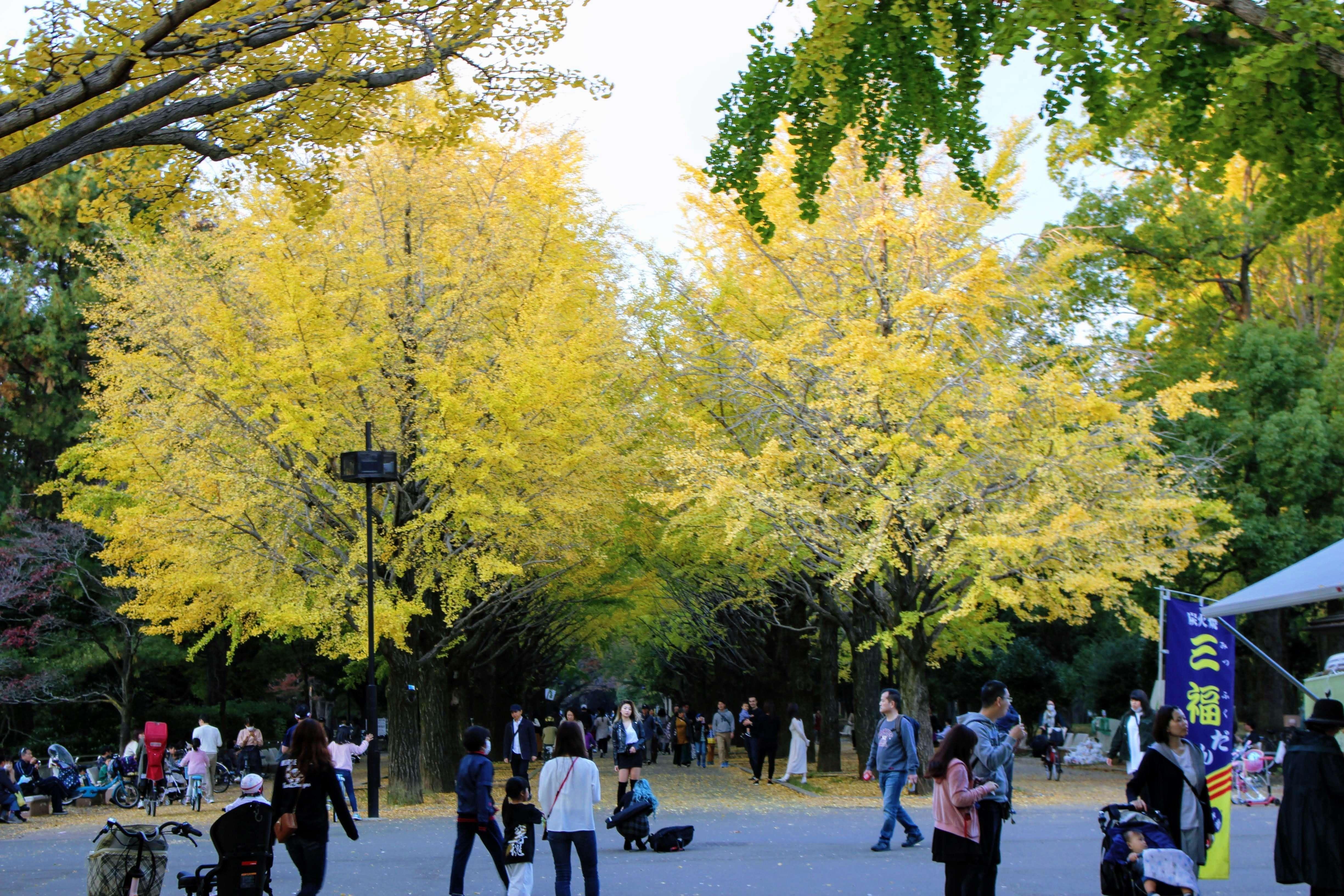 Gingko trees at Hikarigaoka Park