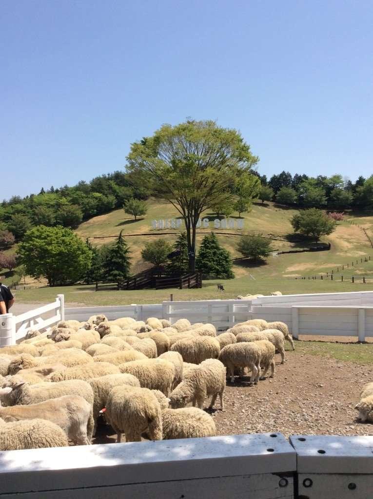 sheepdog show at Ikaho's Green Farm