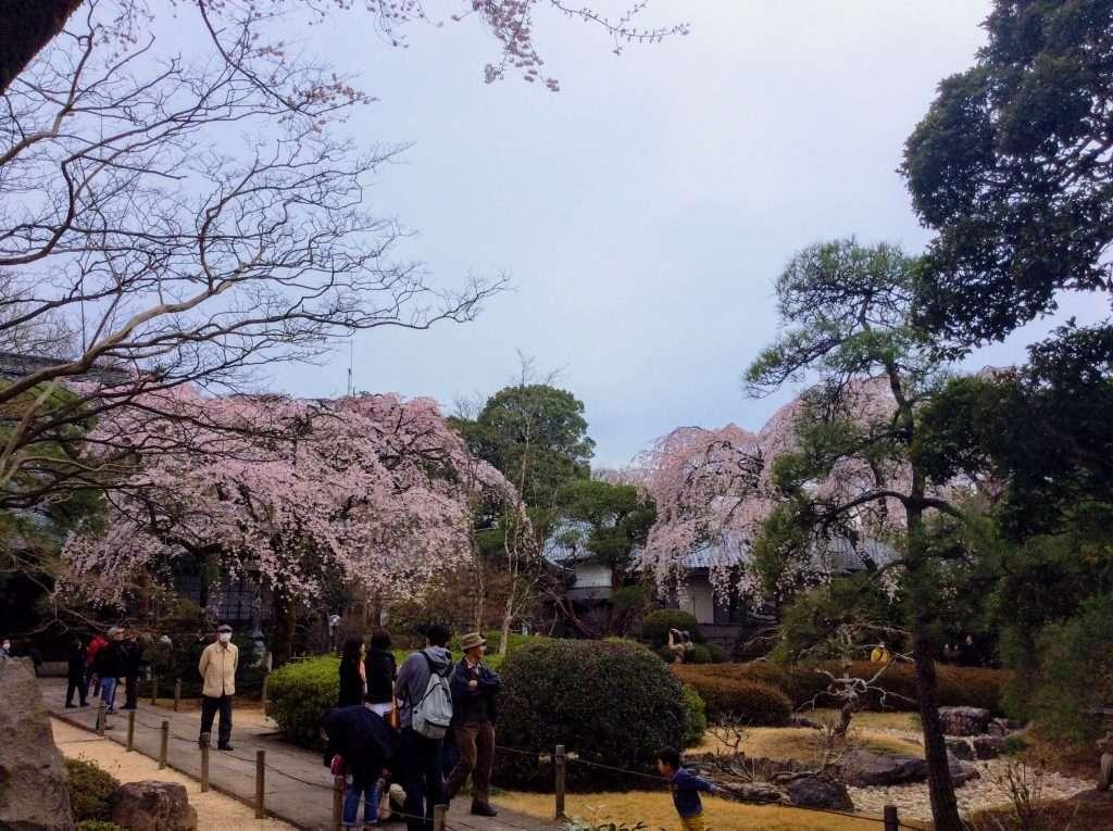 shidare sakura weeping cherry blossom nakain kawagoe