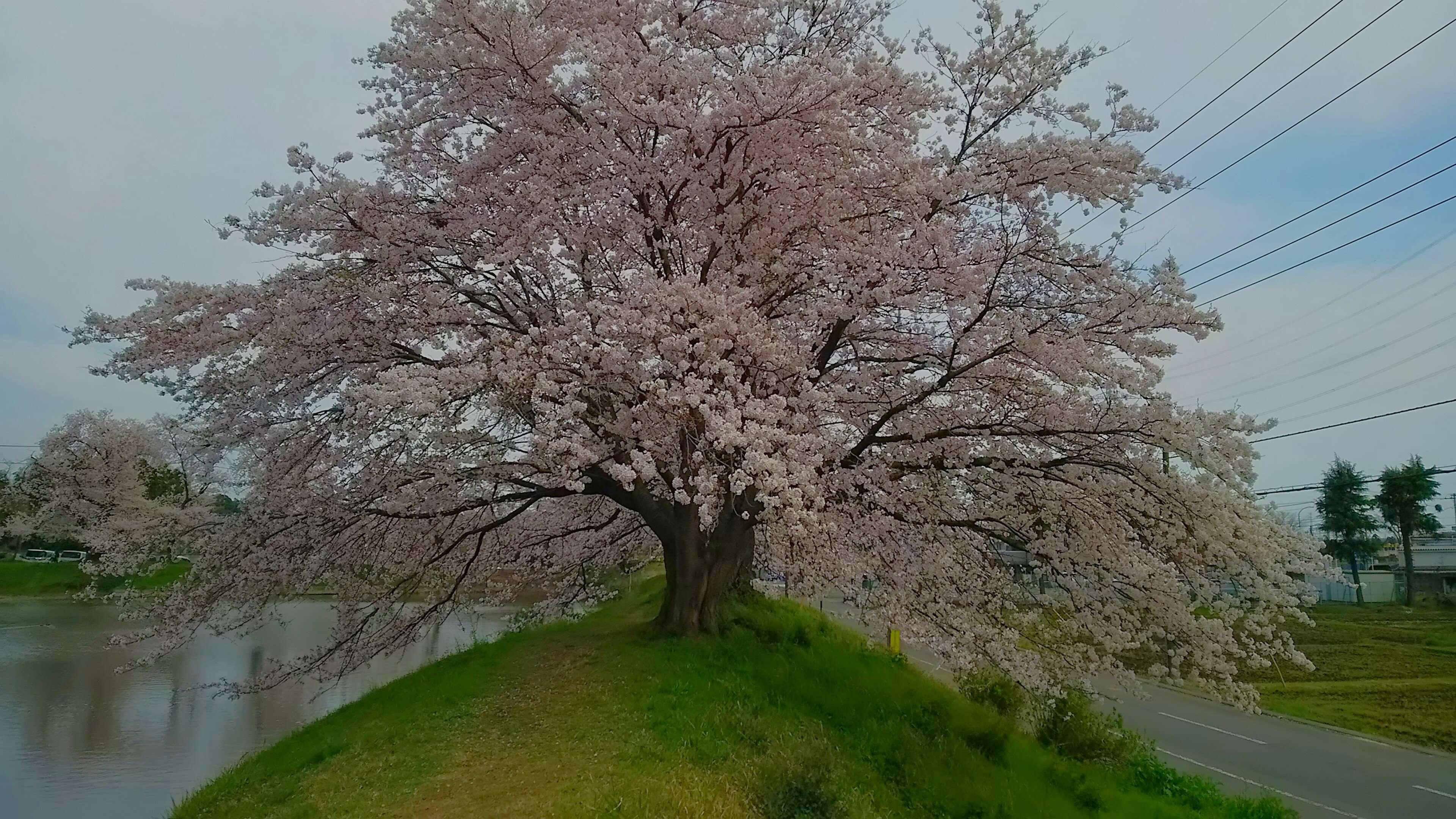 Saitama Sakura Higashimatsuyama