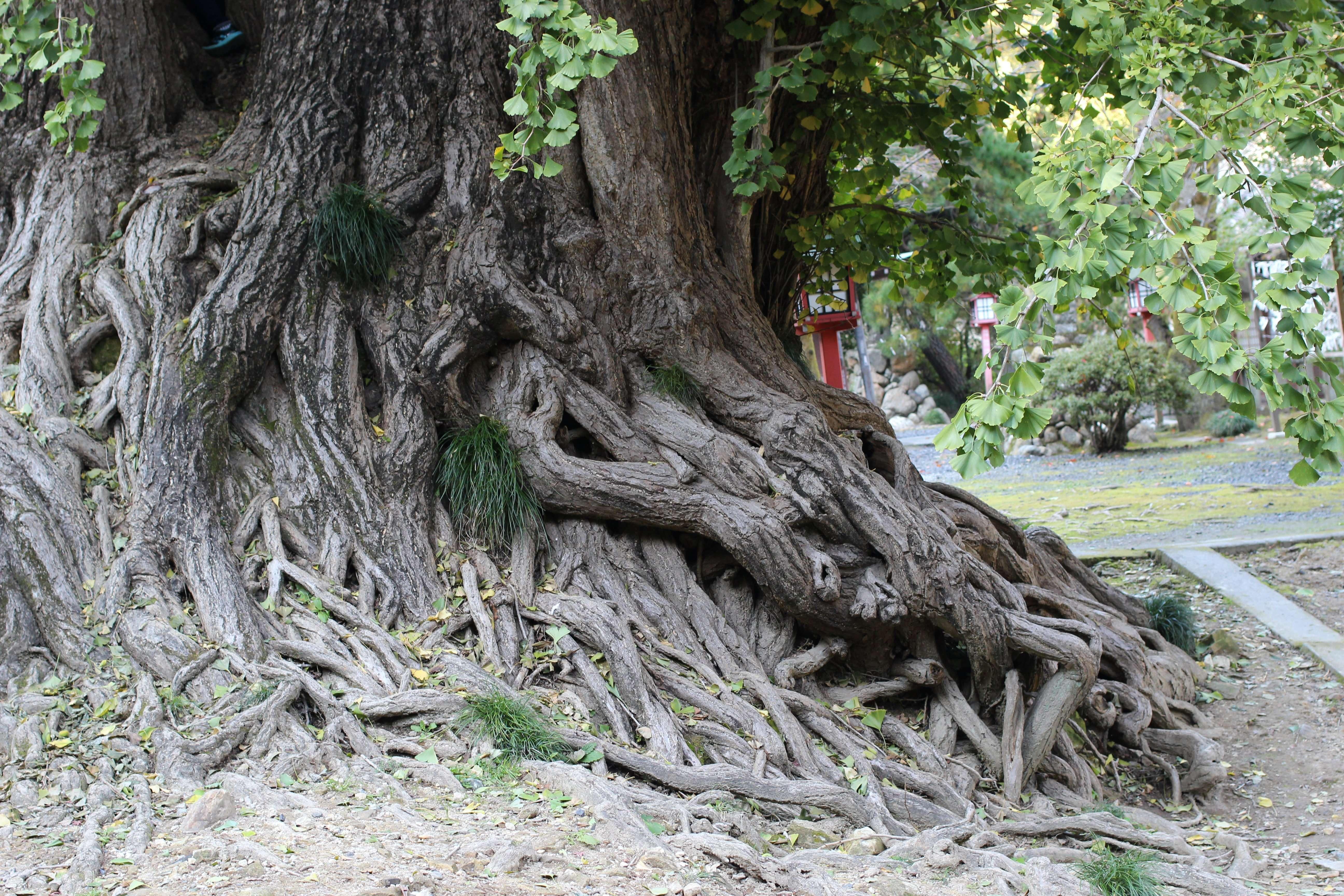 Shoboji's legendary gingko tree's roots