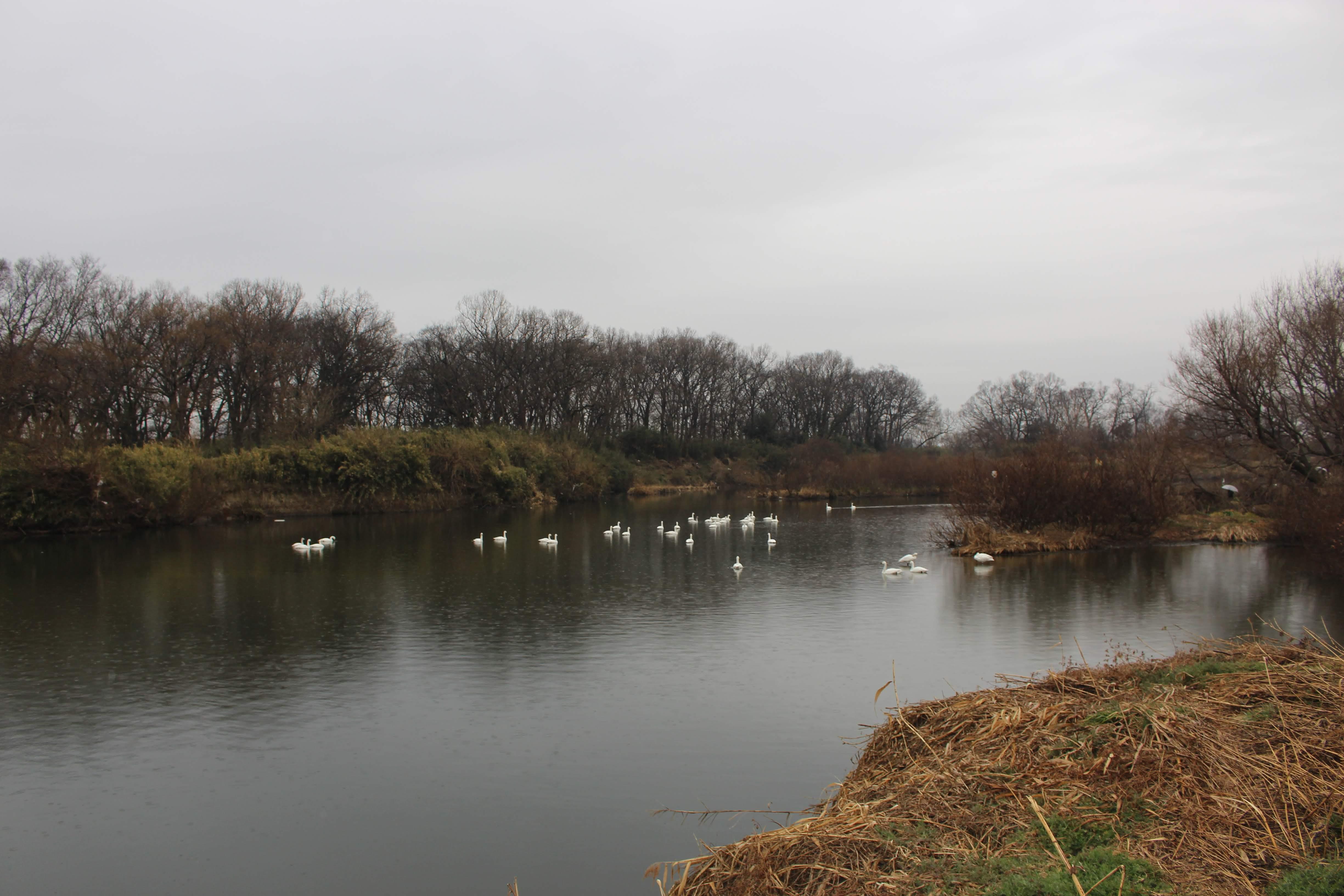 Kawajima swans