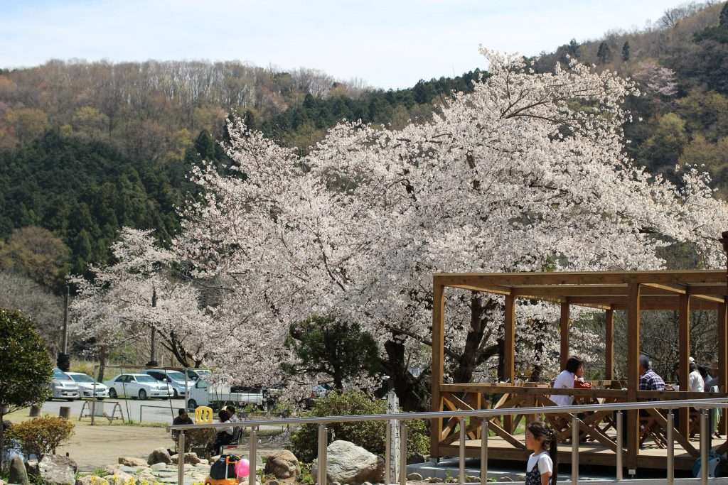 We sat out on the wooden deck under the sakura