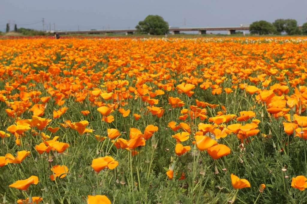 saitama flowers best of 2019 konosu cosmos Kounosu poppy festival poppy field poppies saitama
