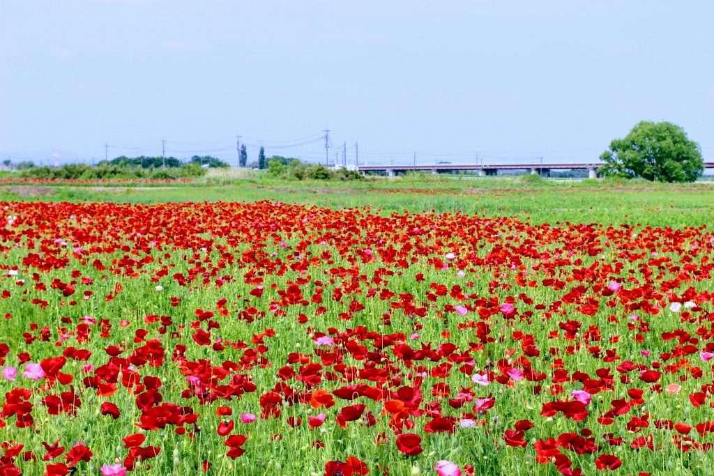 Kounosu poppy festival poppy field poppies Saitama