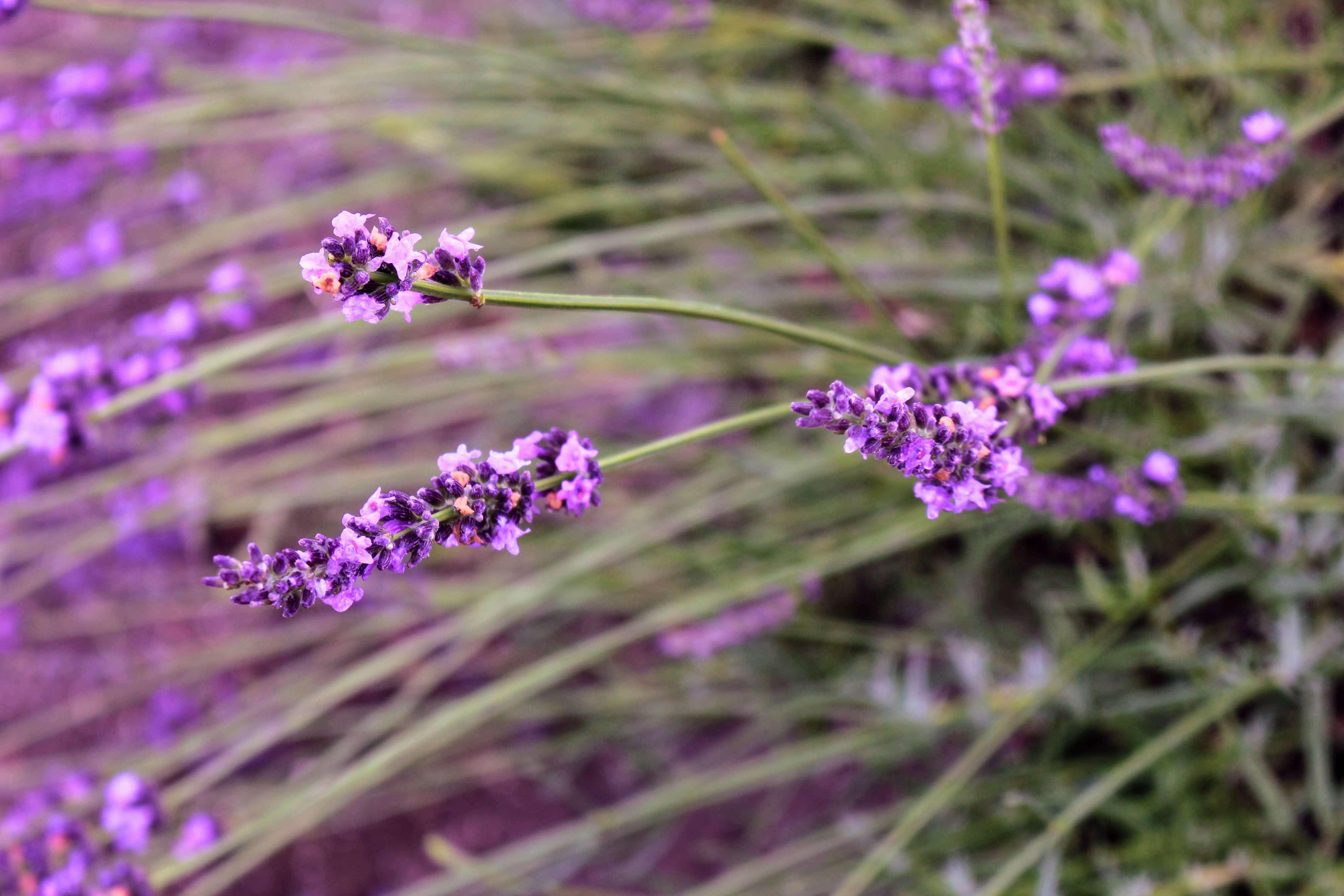 Visiting Ranzan Lavender Festival at Sennen No Sono Saitama flowers June Saitama rainy season japan