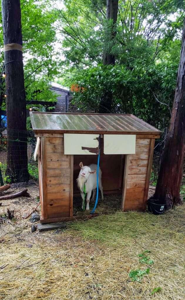 Goat at comoriver