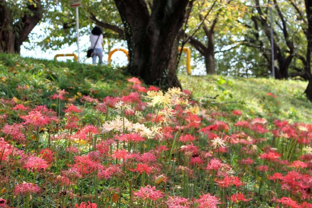 spider lilies yoshimi
