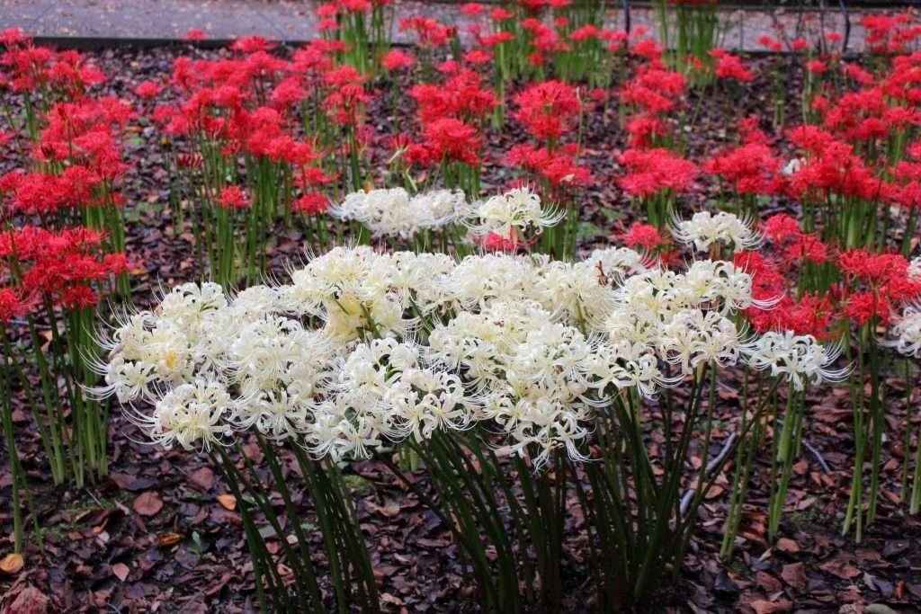 spider lilies in omiya hana no oka