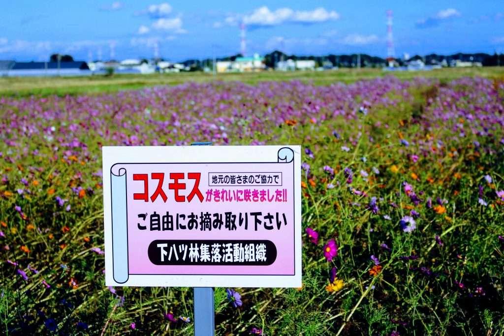 Shimoyatsubayashi cosmos field kawajima cosmos picking sign