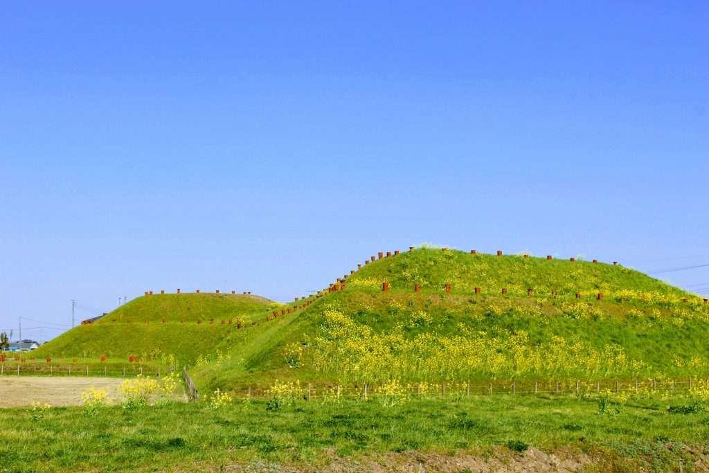 Rapeseed growing on Shogunyama mound at Sakitama Ancient Burial Mound park in Gyoda city