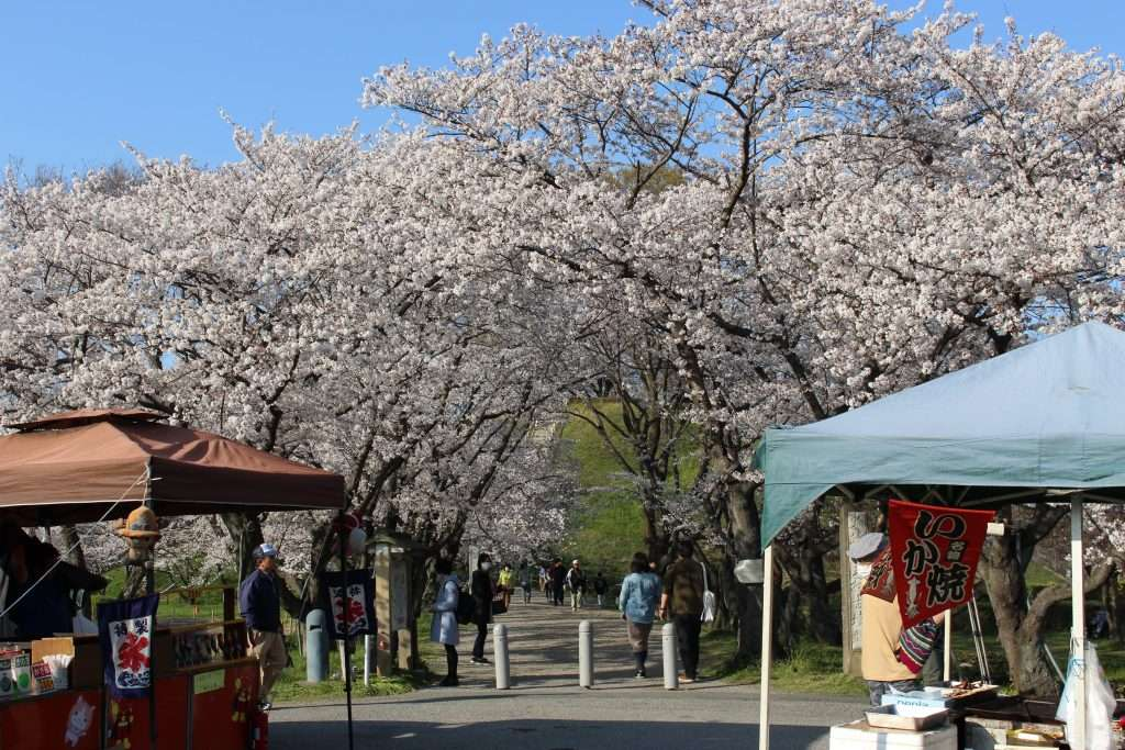 cherry blossoms Sakitama