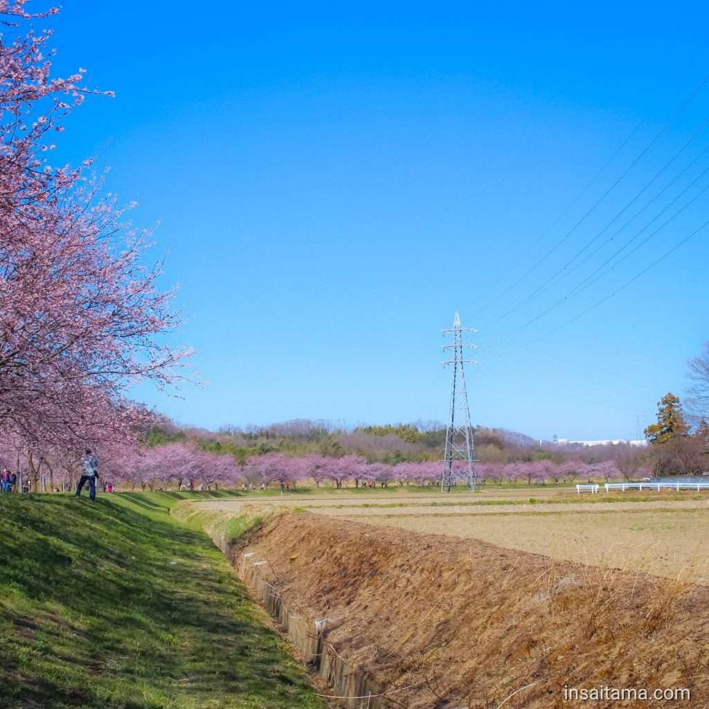 Kita Asaba cherry blossoms March 6th 2020