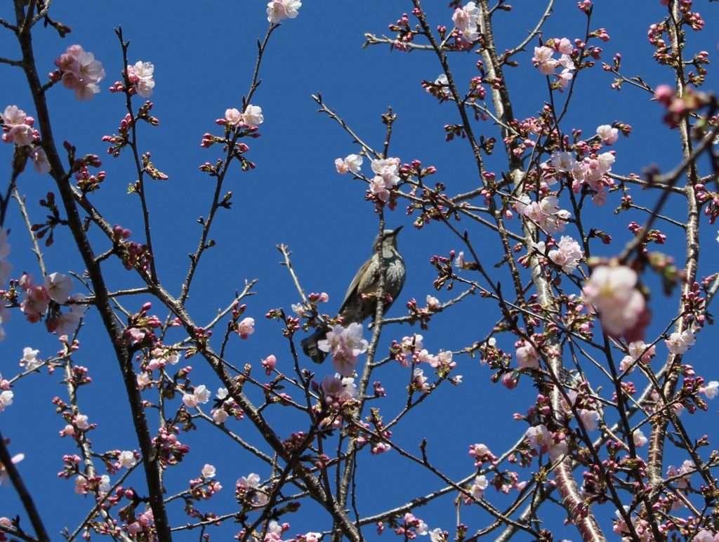 Japanese Bulbul in a cherry blossom tree