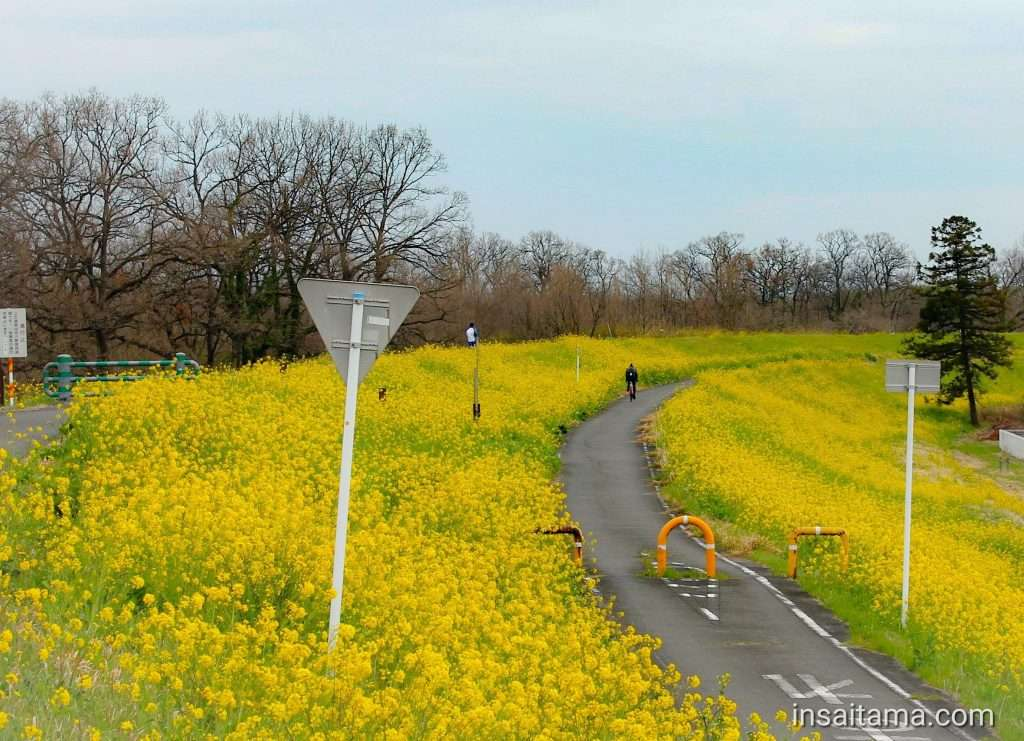 Cycling course with rapeseed canola flower by honda airport in kawajima