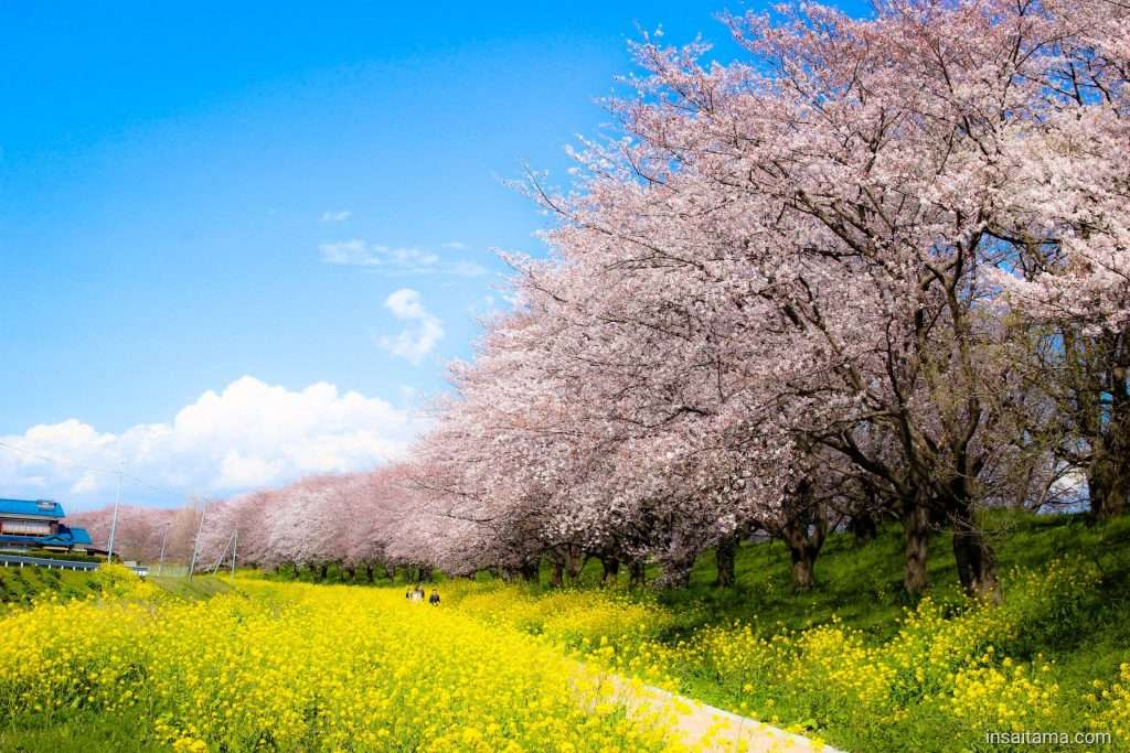 cherry blossoms and rapeseed Yoshimi also featured on the saitama cherry blossom map post