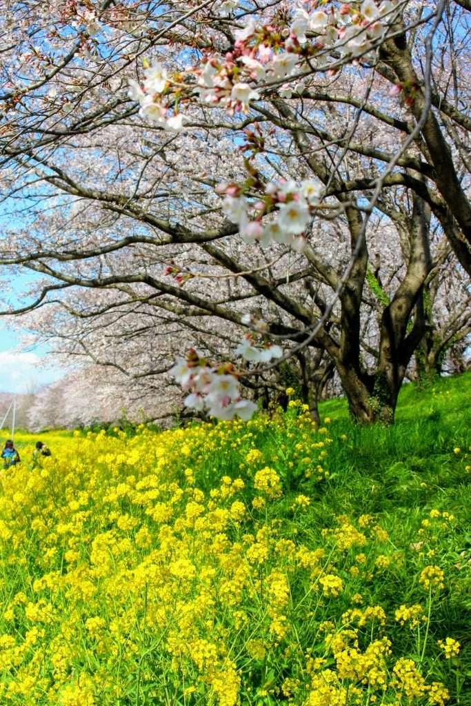Sakura Tsutsumi Yoshimi cherry blossoms and rapeseed
