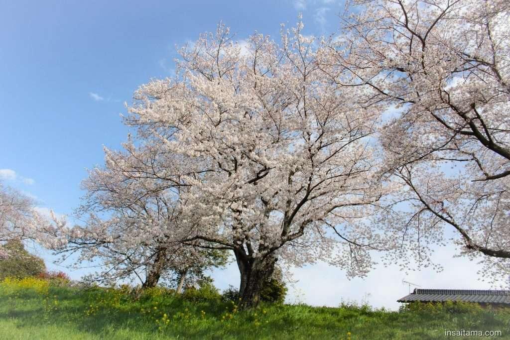 cherry blossom sakura yoshimi