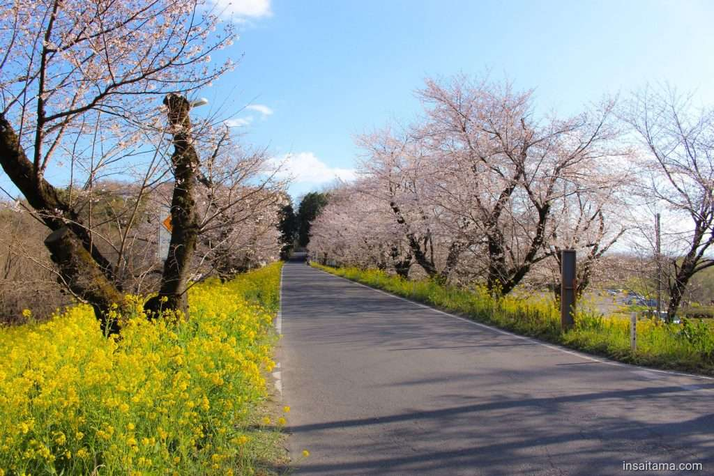 Jougaya or Jogaya Embankment sakura cherry blossoms rapeseed kitamoto