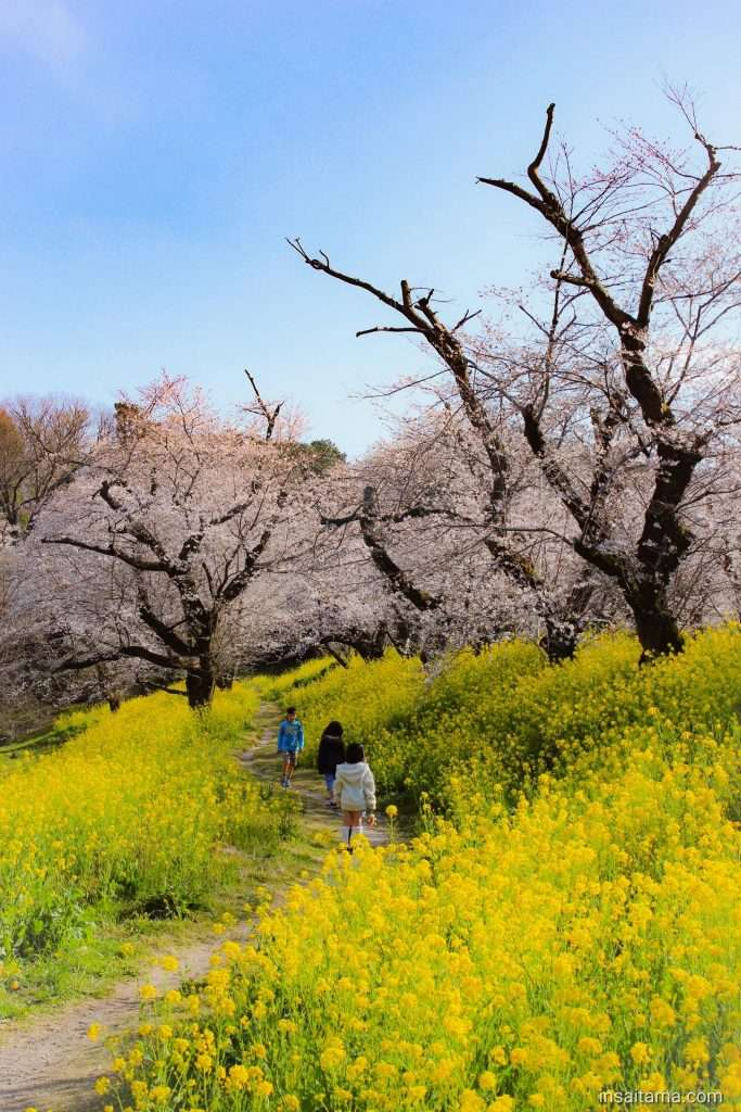 Cherry blossoms and rapeseed kitamoto jougaya tsutsumi