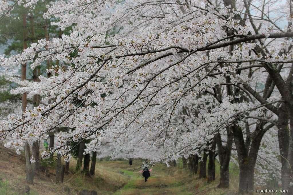 Somei Yoshino on Mt Torayama