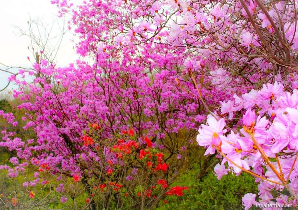 Red pink purple azalea Monomiyama Park Higashimatsuyama Saitama Japan