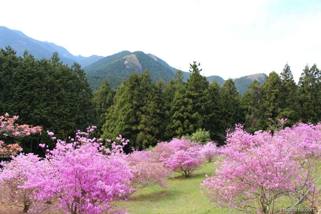 Purple Mountain Ogose