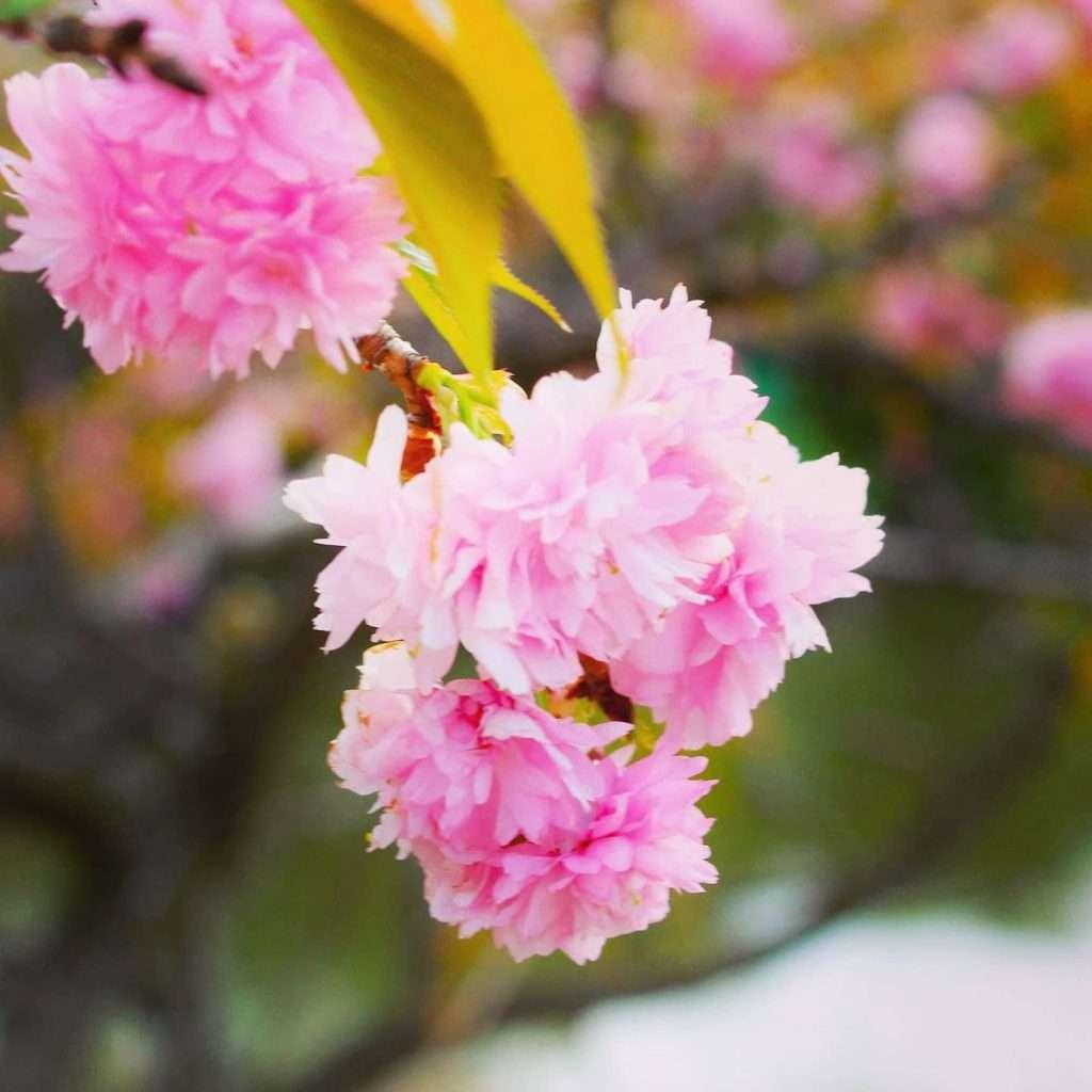 Yaezakura double cherry blossoms at Omiya Hana no Oka