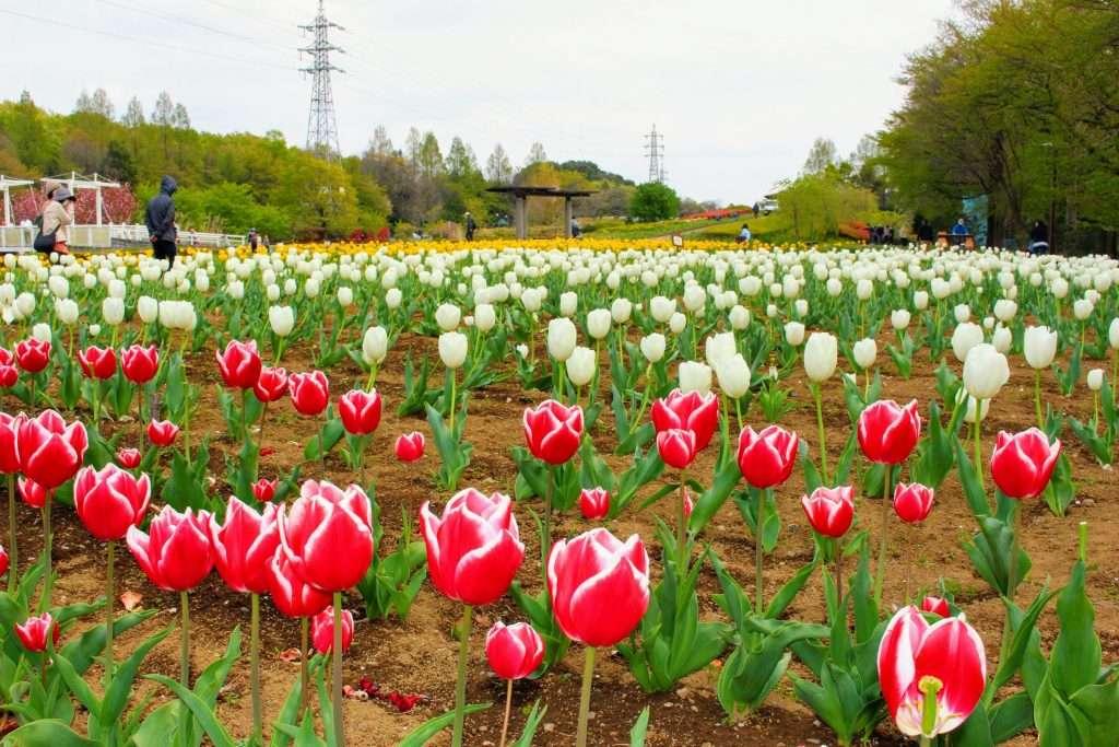 Tulips Omiya Hana no Oka Saitama Prefecture