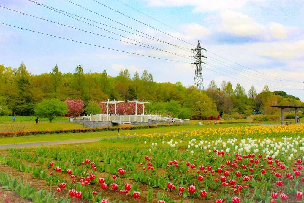 Saitama tulips Omiya Hana no Oka insaitama.com