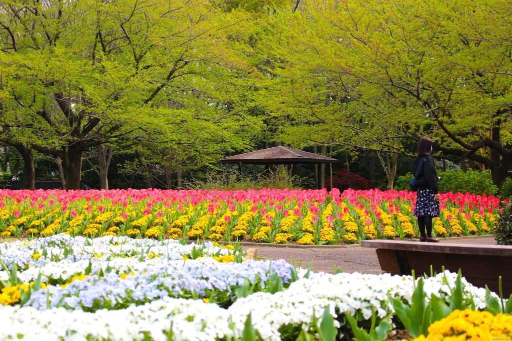 Saitama tulips Omiya Hana no Oka 埼玉チューリップ