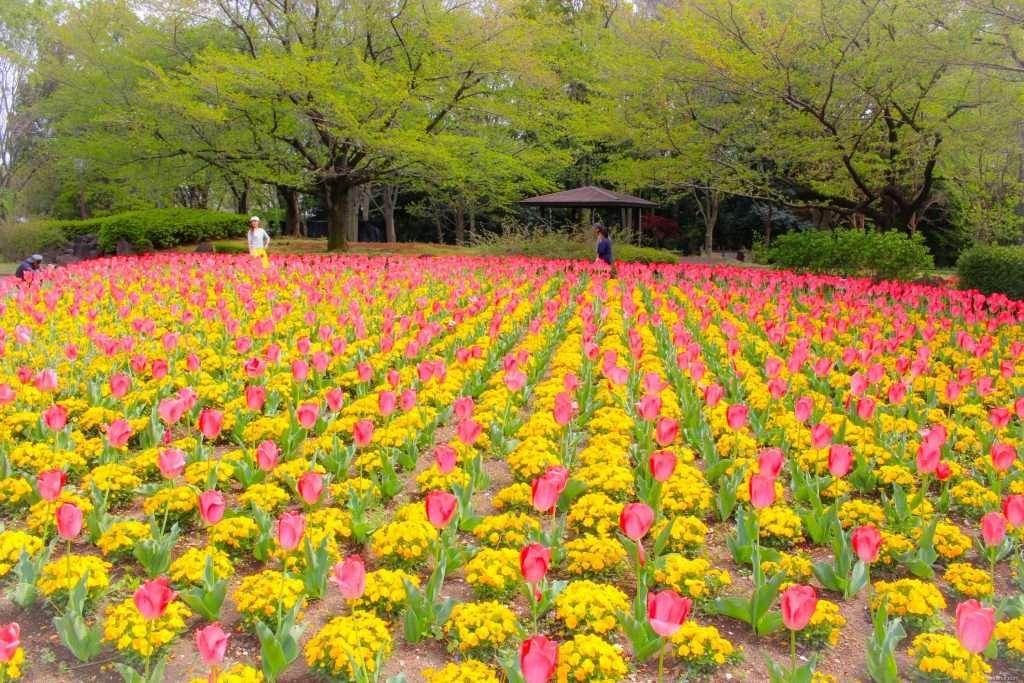Saitama tulips April flowers in Japan