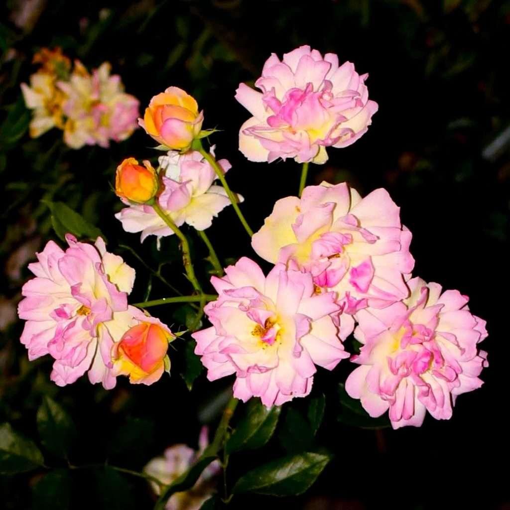 Roses lit up at night at Japan's longest rose tunnel Heiseinomori park in Saitama