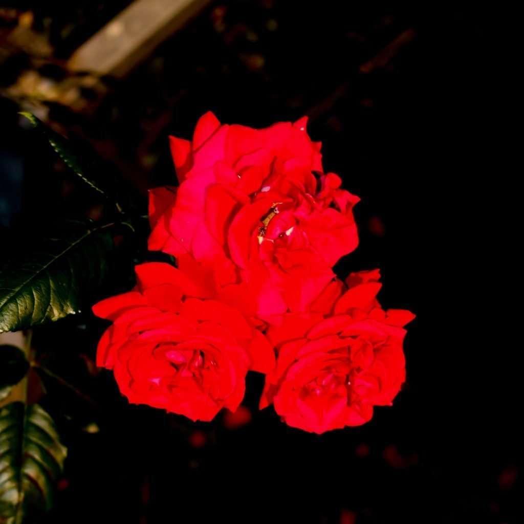 Roses lit up at night at Japan's longest rose tunnel in Saitama
