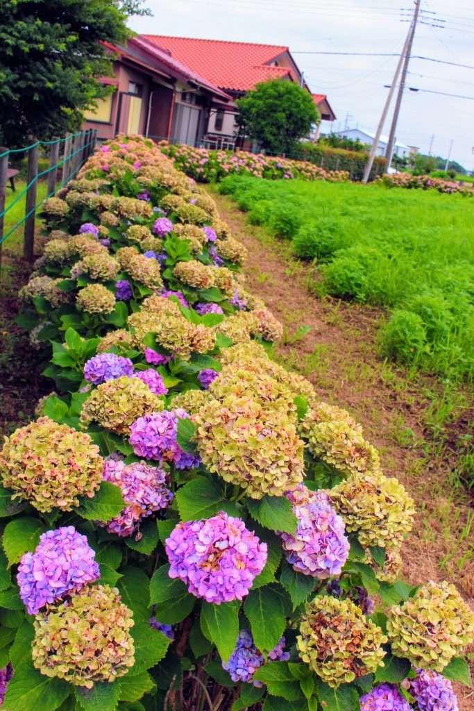 Isa marsh east bank flower garden hydrangea