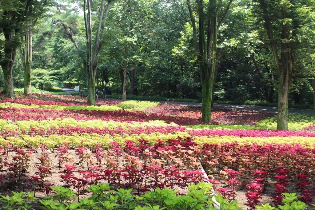 coleus summer flowers Saitama Shinrin park