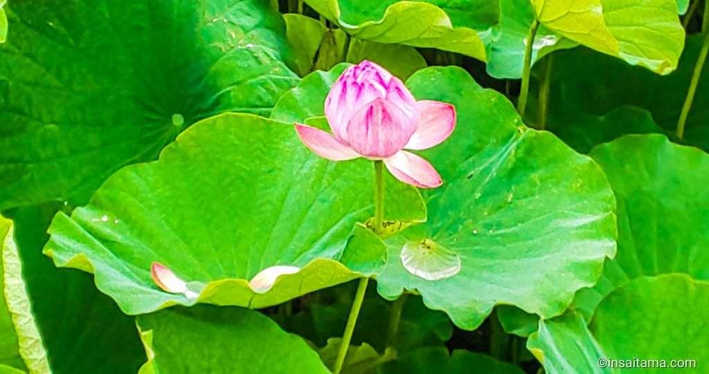 Lotus Heisei No Mori Summer in Saitama 2020