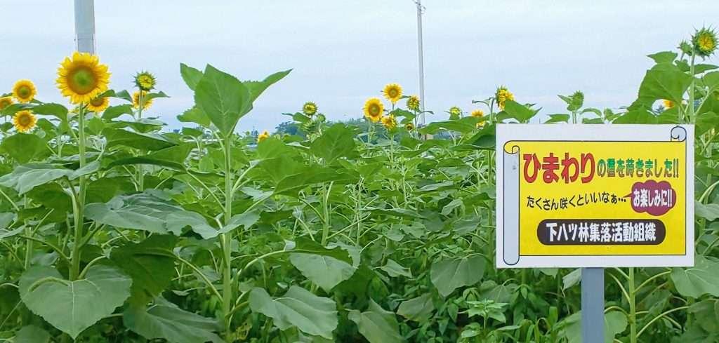 Sunflower field Shimoyatsubayashi Kawajima