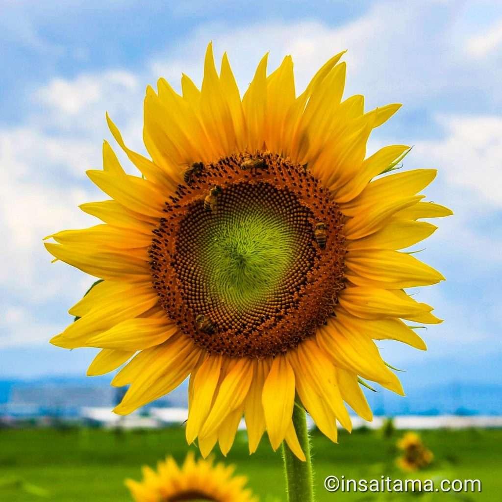 Sunflower Kawajima