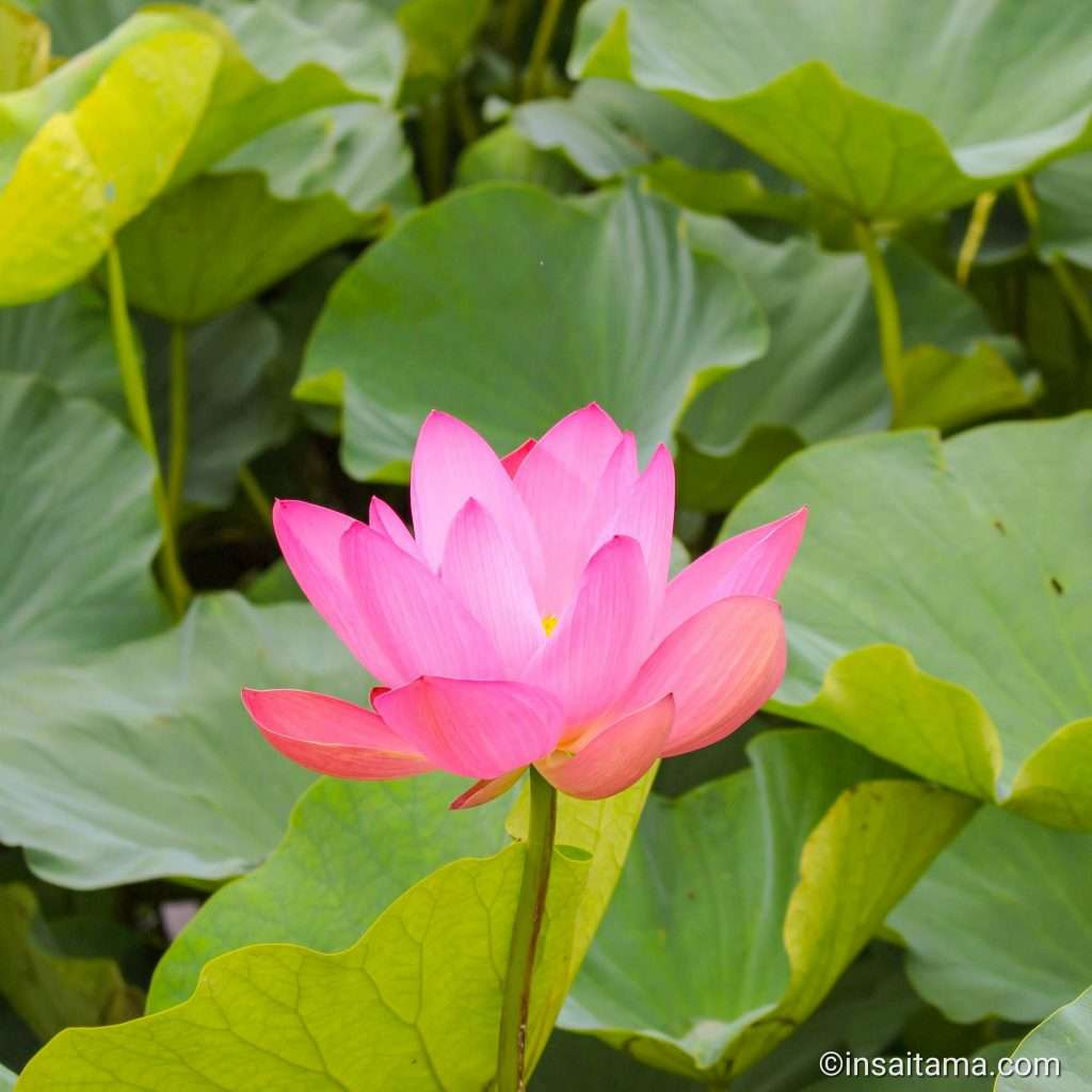 Ancient lotus kawagoe