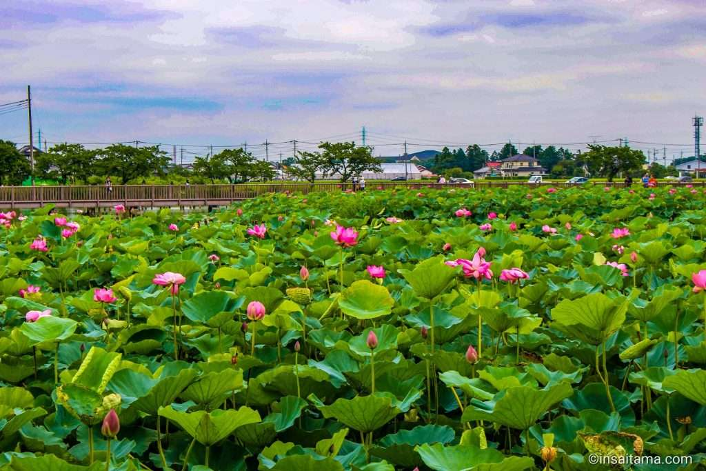 Isanuma Isa marsh kawagoe