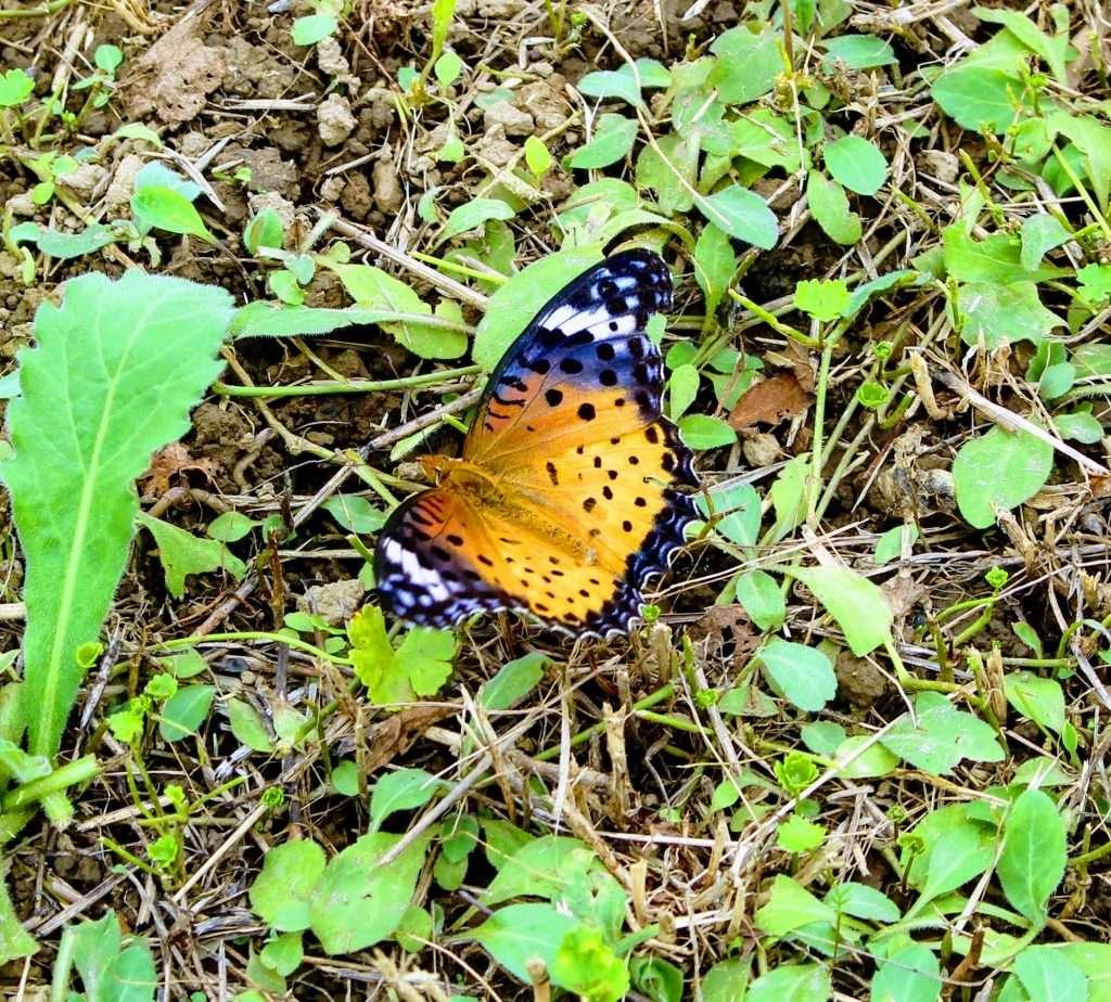 Butterfly Isanuma marsh east bank Tougan Kawagoe