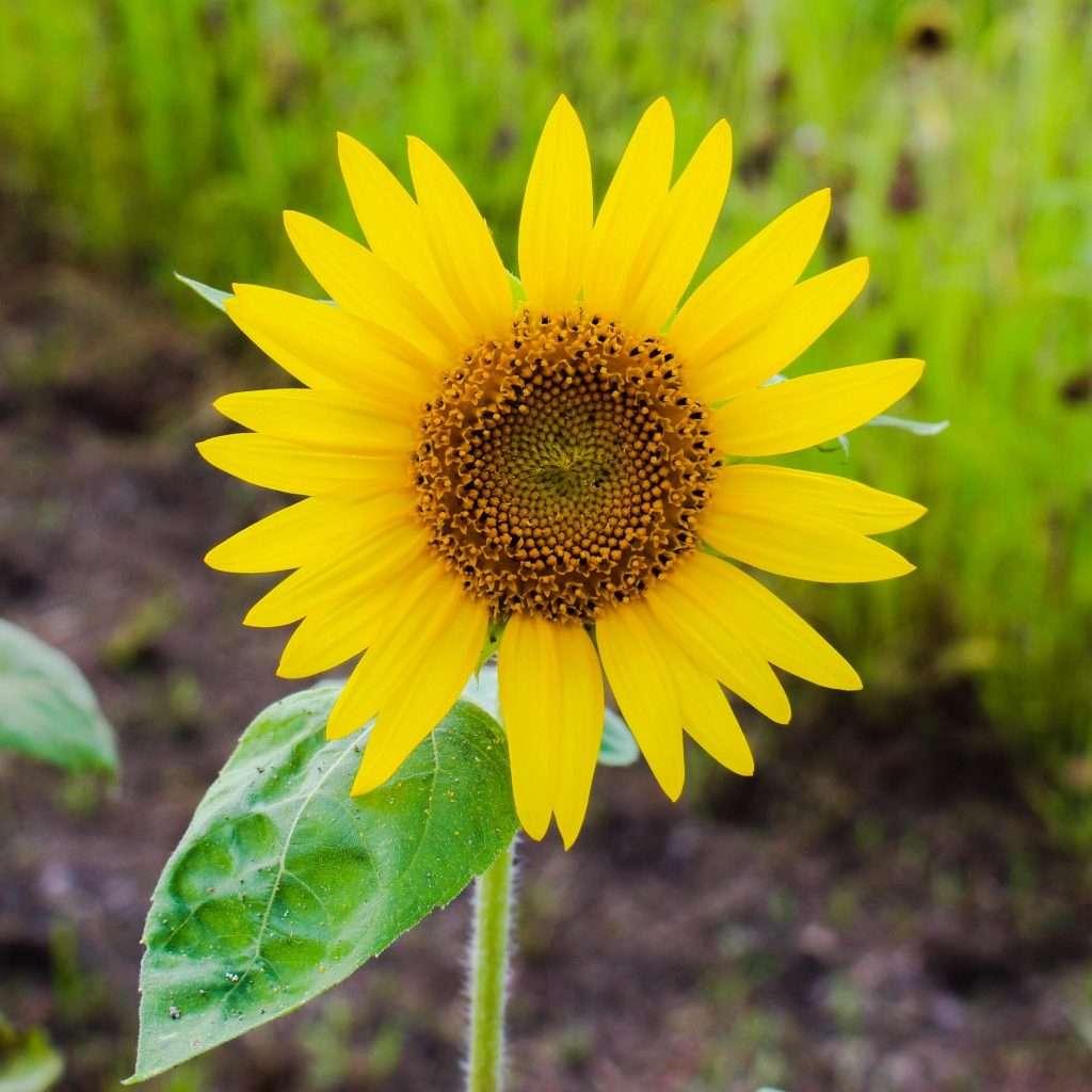 Sunflower Isanuma kawagoe August 4th