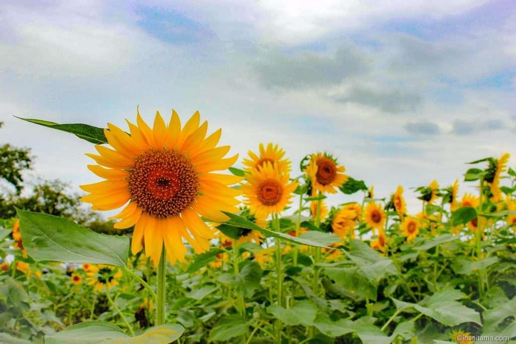 autumn sunflowers in Isa Marsh East Bank Garden Kawagoe