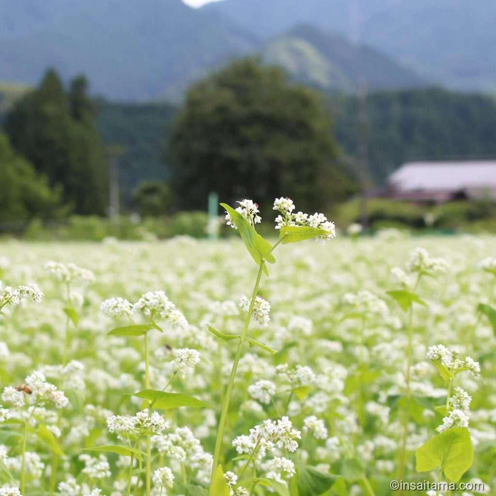 Buckwheat Japan